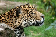 Some of the most majestic endangered species are the big cats. Many different cats are endangered, including ocelots, jaguars, Bengal tigers, and Sumatran tigers. Animal Quotes, Animal Memes, Rainforest Jaguar, Forest And Wildlife, Exotic Cats, Marine Conservation, Small Cat, Domestic Cat, Animal Logo