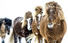 Nordic Thoughts: 'Snowy horses in North Iceland' by Halldór K Horses In Snow, Cute Horses, Horse Love, Wild Horses, All The Pretty Horses, Beautiful Horses, Animals Beautiful, Majestic Horse, Horse Photos