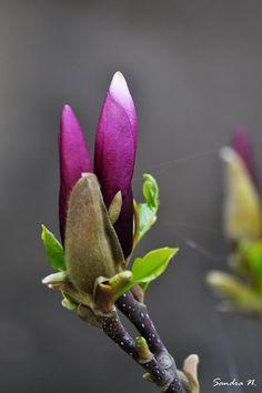 20 Best M I N E Images Romania Magnolia Trees Magnolias