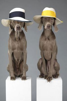 Just looking at weimaraners cracks me up