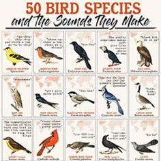 An infographic celebrating 50 bird species and the sounds they make. Read about why birds sing and learn how you can help birds. Love Birds, Beautiful Birds, Bird Facts, Bird Identification, How To Attract Birds, Identify Birds, Mourning Dove, Migratory Birds, Animals