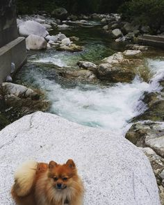 This little guy had his first hike in #lynnvalley today. Perfect day for a hike this #longweekend. . . . #vancouver #hiking #pomeranian #northvancouver by westcoastcameron