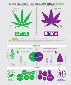 Now, there are hundreds of different cannabis strains, all with varying growing traits, tastes, aromas, yields and effects; but they all have something in common: They belong to one of three families of cannabis – Sativa, Indica or Ruderalis. With us, understand the difference between these genetic families and make an informed decision about what you want to grow and preparations that come with every strain. #Sativa #Indica #Ruderalis #marijuana #cannabisstrains
