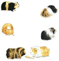 Vintage retro drawing image Guinea Pig picture Instant Download ...