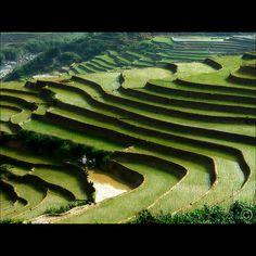 Hmong, Sapa   - Rice Patties!