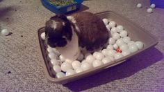 A Bunny Ball Pit filled with ping pong balls. Add treats for a fun play session! Idea from The Bossy Bunny on facebook.