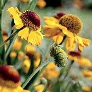 Helenium 'Wyndley' (Sneezeweed 'Wyndley')