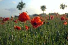 A reminder of beautiful Belgium.  Flowers in a field across the road.....