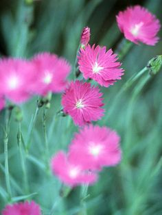 Dianthus  Deer Resistant  Decorate your garden with the charming blooms and wonderful scent of dianthus. This perennial is full of flower power; many types produce blooms for weeks at a time in spring, summer, or fall.  Plant Name: Dianthus selections  Growing Conditions: Full sun and well-drained soil  Size: From 2 to 36 inches tall and 4 to 24 inches wide  Zones: 3-10, depending on type