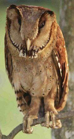 The Oriental Bay-Owl (Phodilus Badius Saturatus). Beautiful Owl, Animals Beautiful, Cute Animals, Owl Photos, Owl Pics, Owl Pictures, Nocturnal Birds, Owl Always Love You, Little Owl
