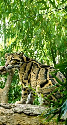 #Clouded Leopard (12/18/2013) Wild Cats  (CTS)