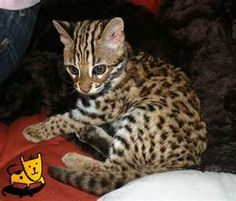 A house cat that looks like a leopard= awesomeness