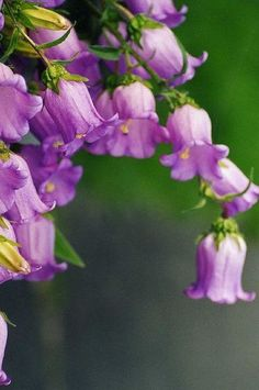 Beautiful bell-shaped flowers, in purple my favorite color!