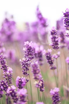 ( 3 ) Surprising Beauty Benefits Of Lavender