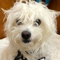 Cute+Muttville+mutt:+Thurston+2326+(Westie/chinese+crested+mix+|+Male+|+Size:+small+(6-20+lbs))