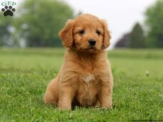 10 Best Irish Doodles Images Doodles Puppies Irish