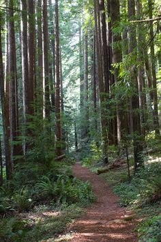 Path Through Juvenile Redwoods, Van Damme State Park, Mendocino, California by Cam Fortin