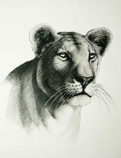 how to draw a realistic mountain lion step by step