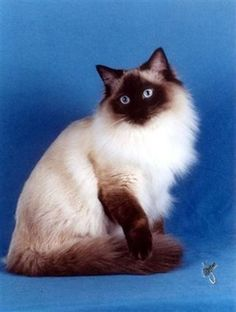 Seal colorpoint ragdoll, like Drizzt :)