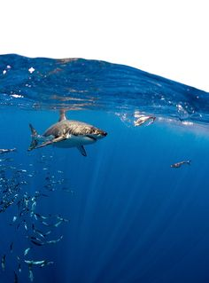 Great White Shark, Carcharodon carcharias, Over/Under by Todd Bretl