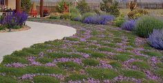 Groundcovers are some of our most versatile and easy-to-grow perennials. Like a well designed house with floors covered by nice rugs and carpeting, the garden is more beautiful when we use groundcovers to cover bare ground.