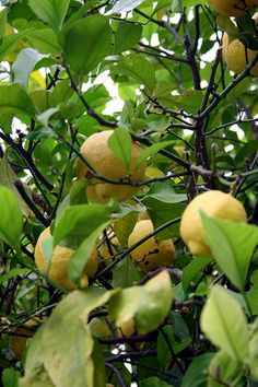 How to Plant Meyer Lemon Trees Growing Fruit Trees, Growing Seeds, Garden Trees, Garden Plants, Farm Gardens, Outdoor Gardens, Fruit Trees In Containers, Meyer Lemon Tree, Arizona Gardening