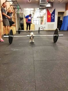 weightlifting puppy
