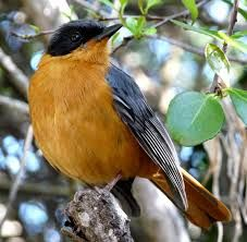 Chorister Robin-chat (Cossypha dichroa) - found in South Africa and Swaziland, from the southern Western Cape through the Eastern Cape, Kwazulu-Natal, Swaziland and Mpumalanga to northern Limpopo. Love Birds, Beautiful Birds, South African Birds, Kwazulu Natal, Ivory Coast, Colorful Birds, Bird Watching, Bird Feathers, Old World