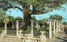 Beautiful Kapok tree in clearwater florida,use to be a restaurant my parents took us to