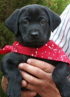 Cute black lab puppy CLICK THE PIC and get the eco-friendly flushable and biodegradable dog waste bags. Black Lab Puppies, Cute Puppies, Cute Dogs, Corgi Puppies, Black Labs, Black Labrador, Baby Animals, Cute Animals, Dog Grooming Business