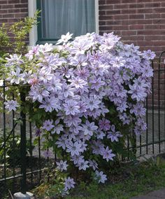 Planting clematis and caring for it properly: Some tips worth knowing! - clematis plants clematis layer protection clematis varieties The Effective Pictures We Offer You Ab - Clematis Trellis, Clematis Plants, Autumn Clematis, Vine Trellis, Garden Trellis, Garden Plants, Climbing Clematis, Clematis Nelly Moser, Clematis Varieties