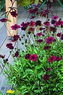 All over my garden this year!  Chocolate Cosmos.