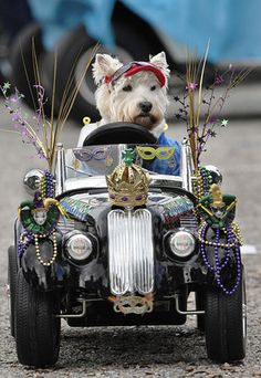 Brody, a Westie belonging to Vicki Rice, sits in a remote controlled car at the beginning of the Mardi Gras Dog Parade held Sunday, Feb. 19, 2012 at Baytowne Village in Sandestin, Fla. AP