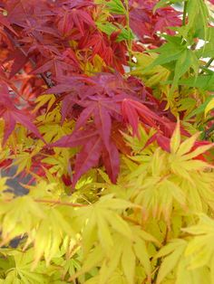 Compagnia del Giardinaggio: Primavera di aceri giapponesi: scenari, effetti, movimenti.
