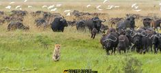 Lion being chased by buffalo, by guide Brendon Cremer (brendoncremer.com)