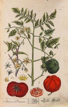 Elisabeth Blackwell - Kräuterbuch (1750-1765) - Weitere Abbildung
