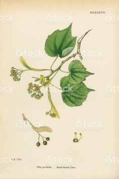 Small-leaved Lime, Tilia parvifolia, Victorian Botanical Illustration, 1863 royalty-free stock vector art