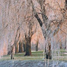 Ice on willows