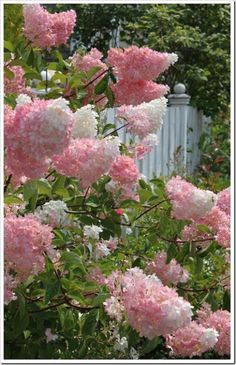 Pink Lilac Bush and a white picket fence.