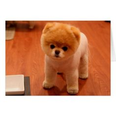 Shop Pomeranian-cute puppies-spitz-pom dog-pom puppies postcard created by RedSamurais. Personalize it with photos & text or purchase as is! Pomeranian Haircut, Cute Pomeranian, Cute Puppies, Cute Dogs, Dogs And Puppies, Little Dogs, Dog Pictures, Cute Pictures, Animal Pictures
