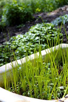 Growing Medicinal Herbs in Pots: Healing Plants for Container Gardening Container Plants, Container Gardening, Shade Garden, Garden Plants, Pot Plants, Water Garden, Organic Gardening, Gardening Tips, Indoor Gardening