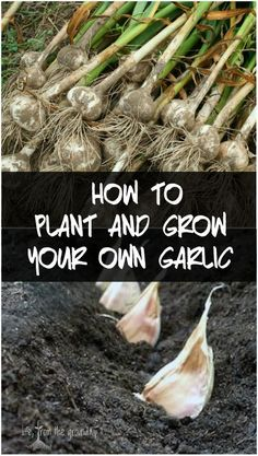 Grow Garlic How to grow garlic the easy way - enjoy fresh, flavorful, homegrown garlic!How to grow garlic the easy way - enjoy fresh, flavorful, homegrown garlic! Growing Vegetables, Growing Plants, Garlic Growing Indoors, Growing Garlic From Cloves, Growing Onions, Growing Gardens, Small Gardens, Gardening For Beginners, Gardening Tips