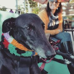 Stacey's outing today was a dawdle and sniff around the park then a coffee at @thegreenroomwollongong at South Beach where dogs are welcome and Stacey can sit on the lounge seats and the coffee is fantastic. #staceygetswhatstaceywants #dogsshouldbeoutandabout #greyhounds #greenhounds#dogsofinstagram#dogswithaddisons