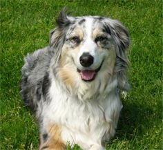 Blue Merle Aussie - such a smiley happy beauty
