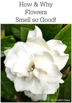 How & Why Flowers Smell | My Soulful Home