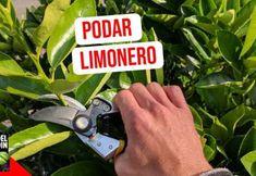 Cómo se podan los limoneros y otros cítricos Flower Planters, Garden Planters, Lavander, Fruit Garden, Pruning Shears, Landscape Design, Garden Tools, Cactus, Plants