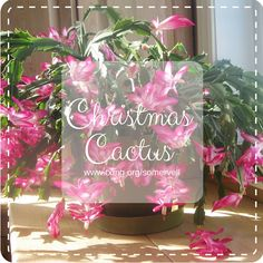 Christmas Cactus. Somervell County Master Gardeners