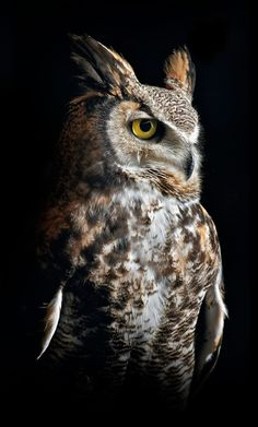 I met this gorgeous owl.it is a genuine spirit animal as it keeps popping up in my life, and teaches me a nice lesson each time. Famous Types of Eagles in The World With Awesome Pictures Owl Photos, Owl Pictures, Birds Photos, Amazing Animals, Animals Beautiful, Owl Bird, Pet Birds, Angry Birds, Bird Art