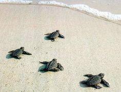 Sea turtles (Boca Raton, Florida)