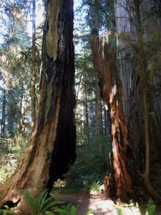 Ancient split redwood stump, along the Simpson Reed Trail, Jedediah Smith Redwoods State Park